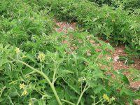 pomodoro industria pieno campo