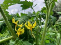 pomodoro pianta